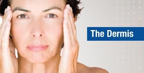 Collagen breakdown within the dermis of the skin